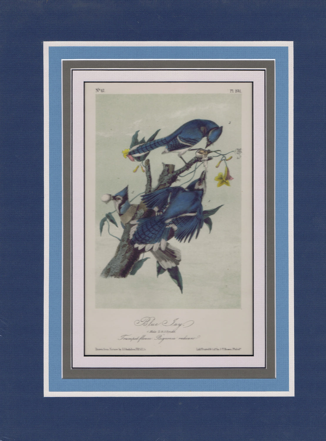 Audubon Original Octavo Matted, The Blue Jay, plate 231