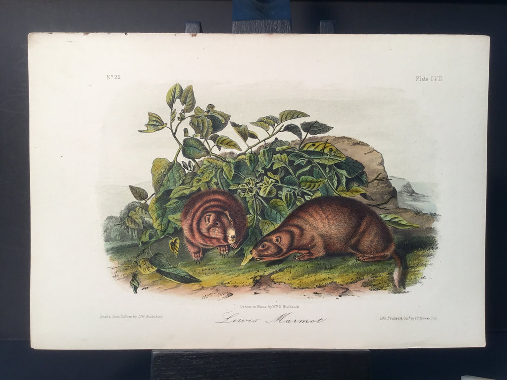 Lord-Hopkins Collection - Lewis' Marmot