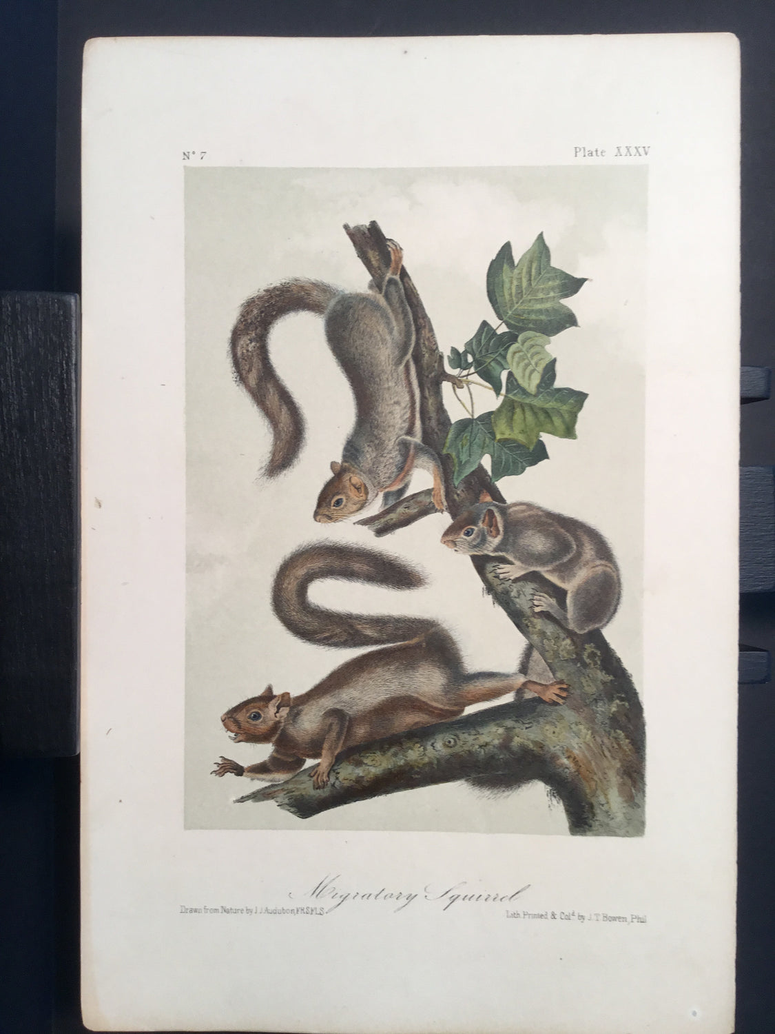 Lord-Hopkins Collection - Migratory Squirrel