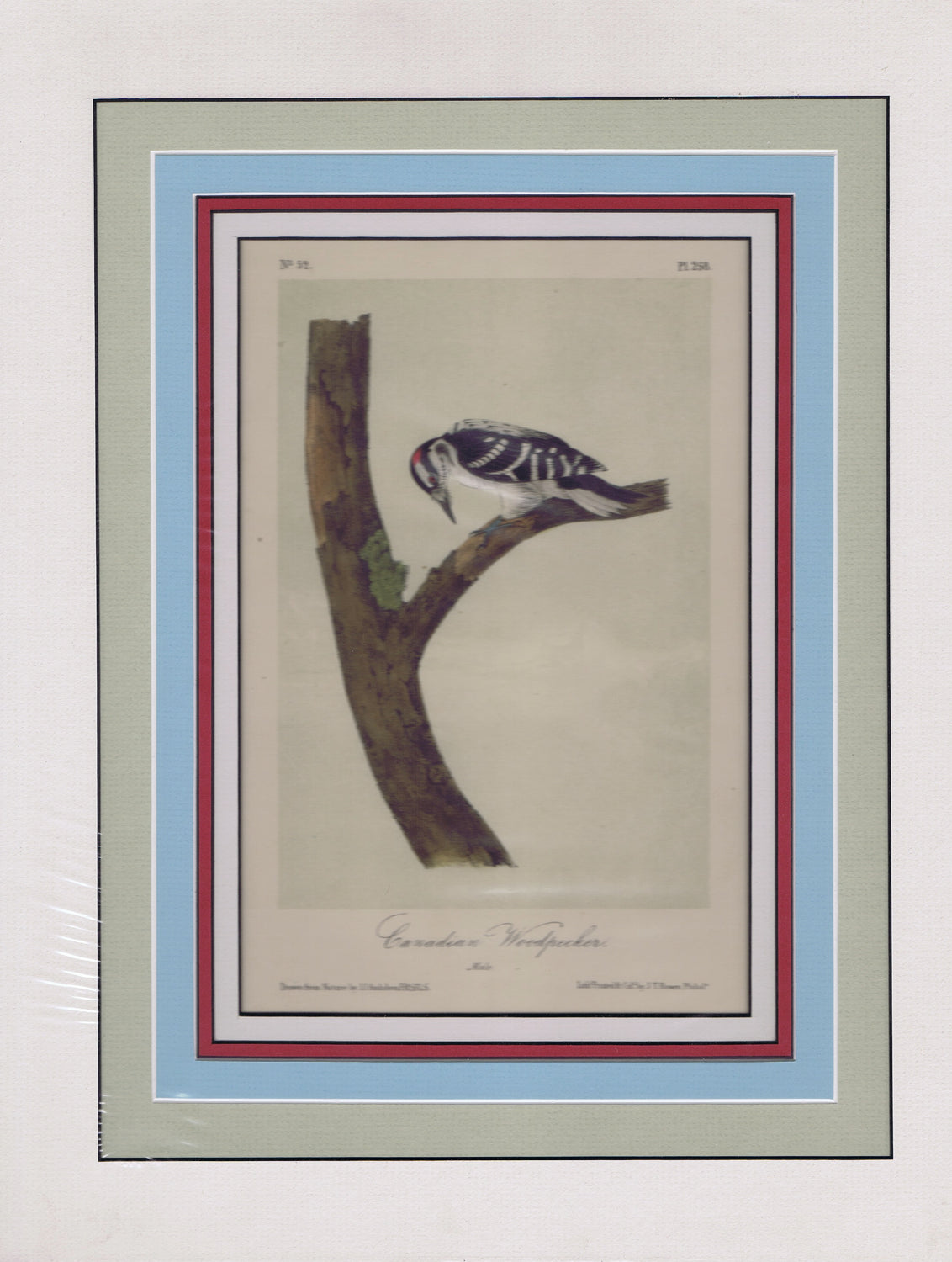 Audubon Original Octavo Matted, Canadian Woodpecker, plate 258