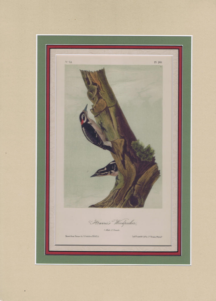 Audubon Original Octavo Matted, Harris's Woodpecker, plate 261