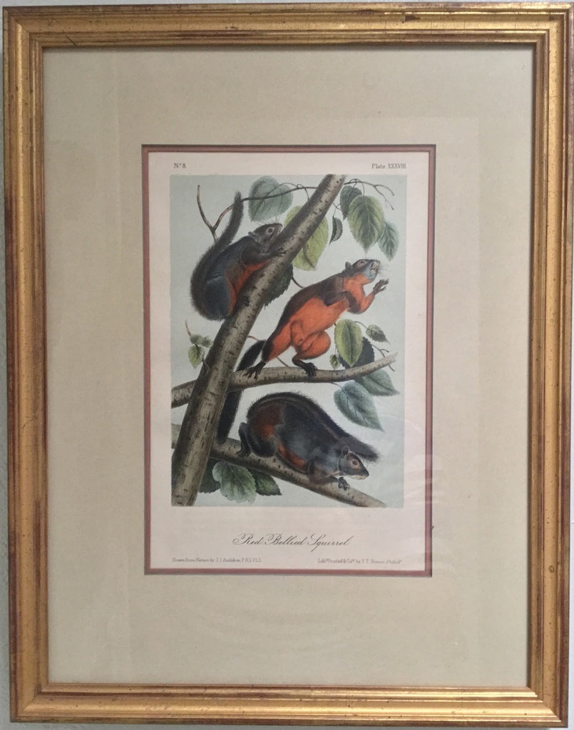 Original Audubon Red Bellied Squirrel , Plate 38 (Framed)