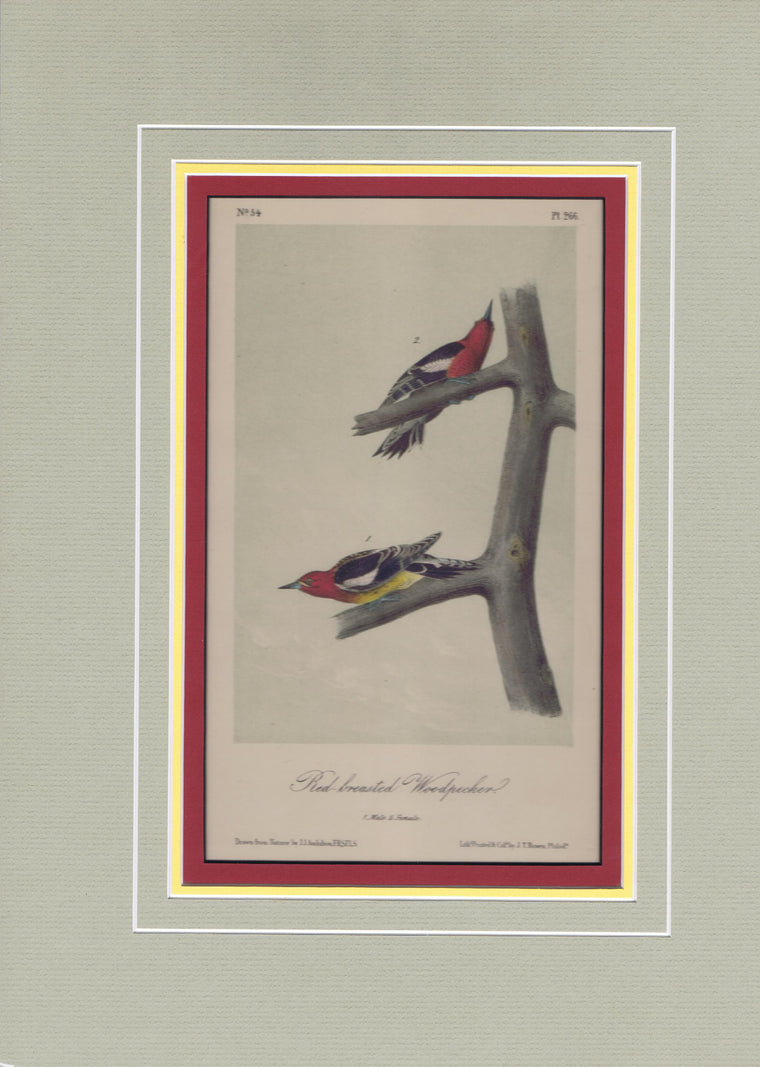 Audubon Original Octavo Matted, Red Breasted Woodpecker, plate 266