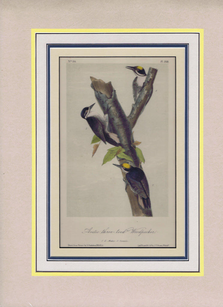Audubon Original Octavo Matted, Artic Three-toed Woodpecker, plate 268