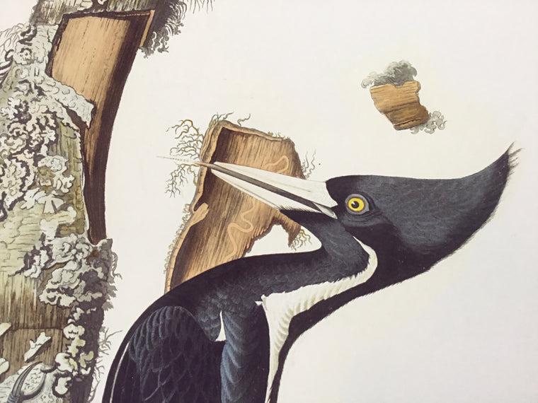 Princeton Audubon Fine Art Edition Ivory-billed Woodpecker, plate 66