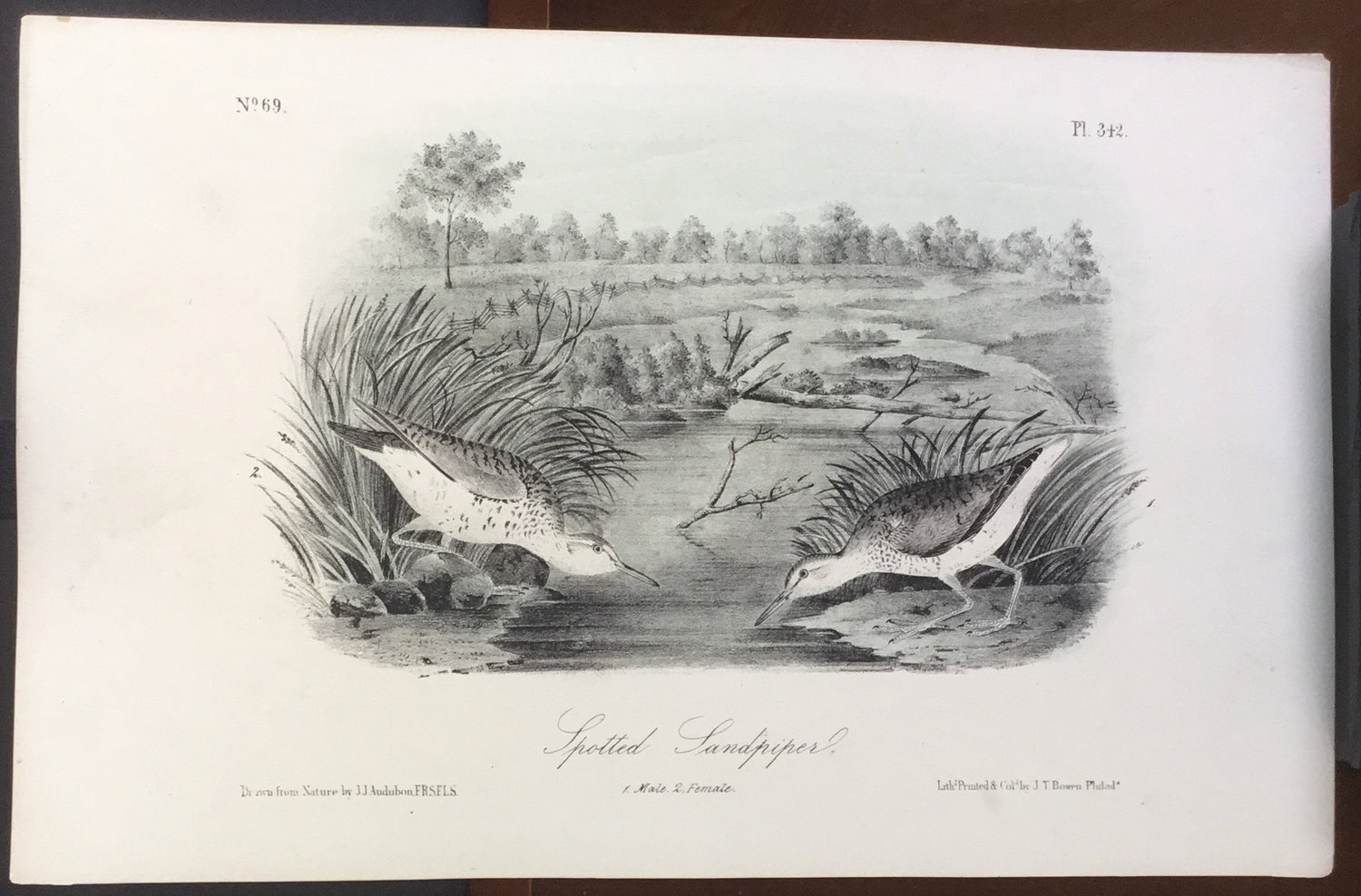 Audubon Octavo Spotted Sandpiper (3), plate 342, uncolored test sheet, 7 x 11