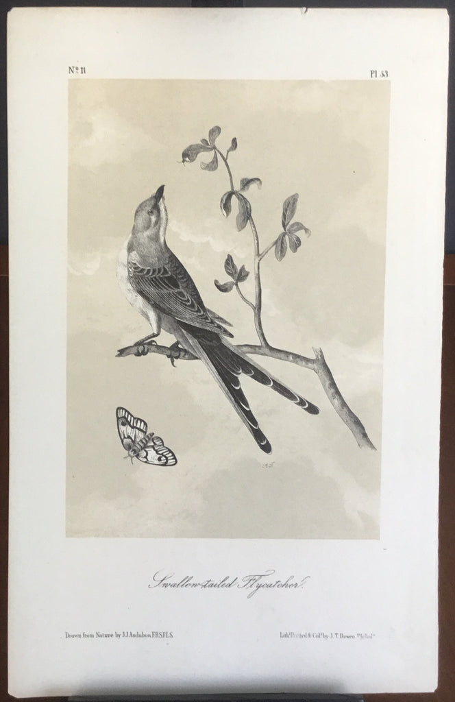 Audubon Octavo Swallow-tailed Flycatcher, plate 53, uncolored test sheet. 7 x 11
