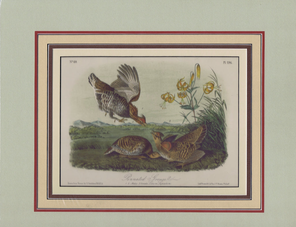 Audubon Original Octavo Matted, Pinnated Grous, plate 296