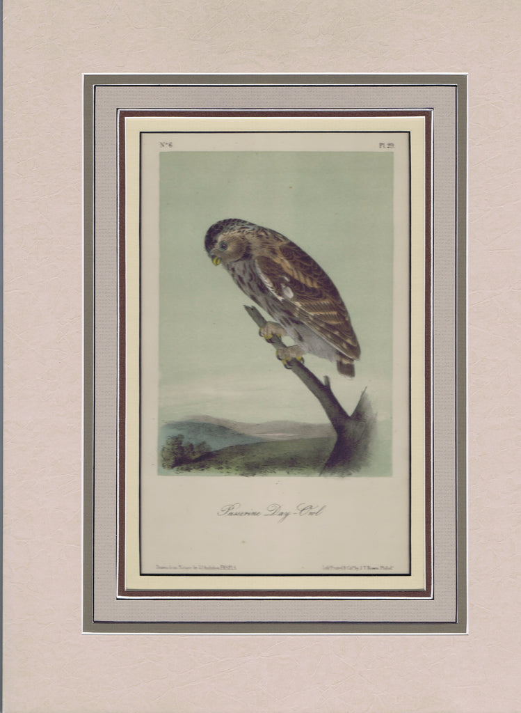 Audubon Original Octavo Matted, Little Night Owl. plate 29