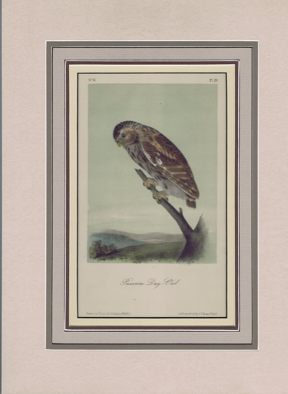 Audubon Original Octavo Matted, Little Day Owl. plate 29