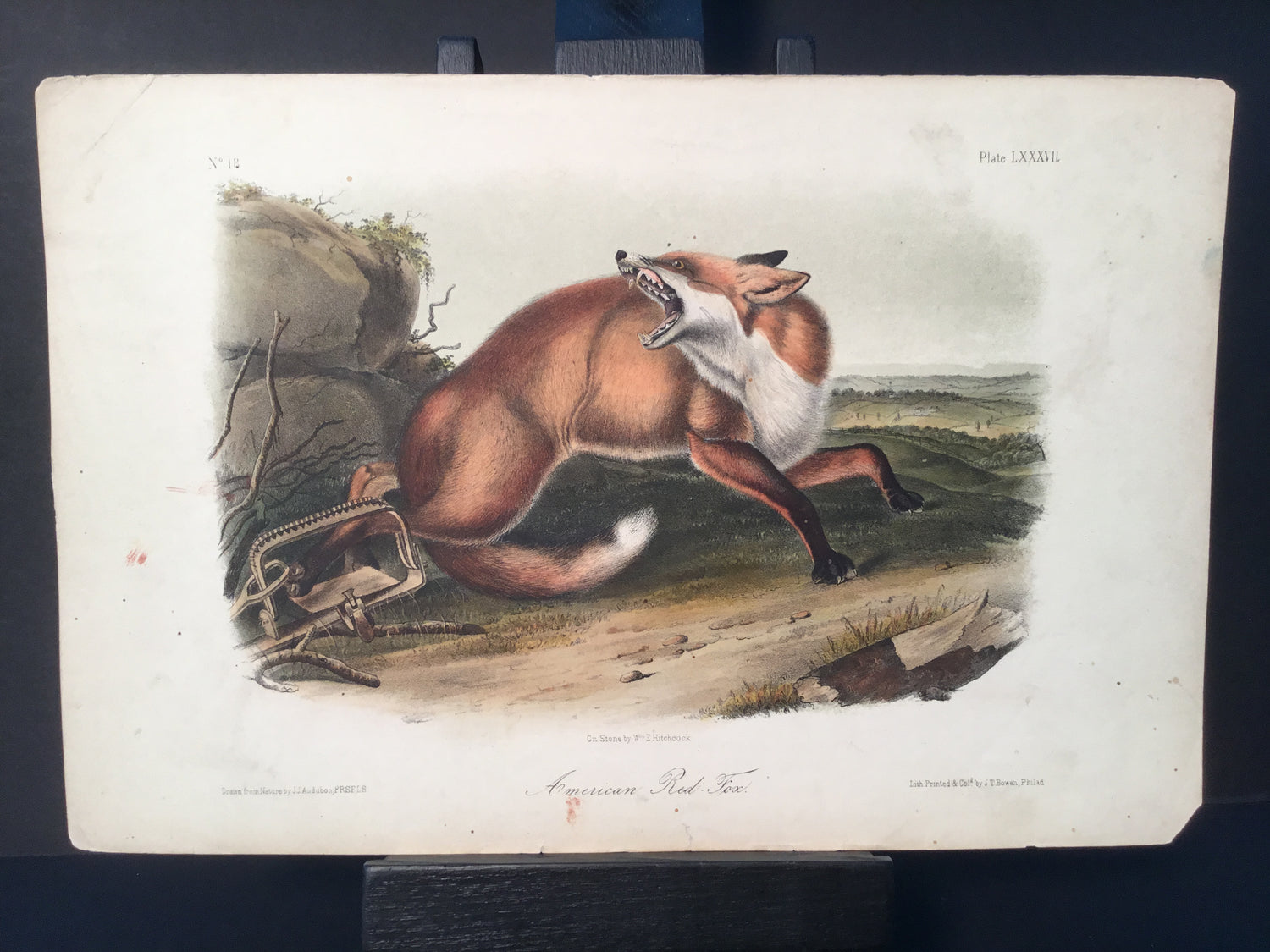Lord-Hopkins Collection - American Red Fox