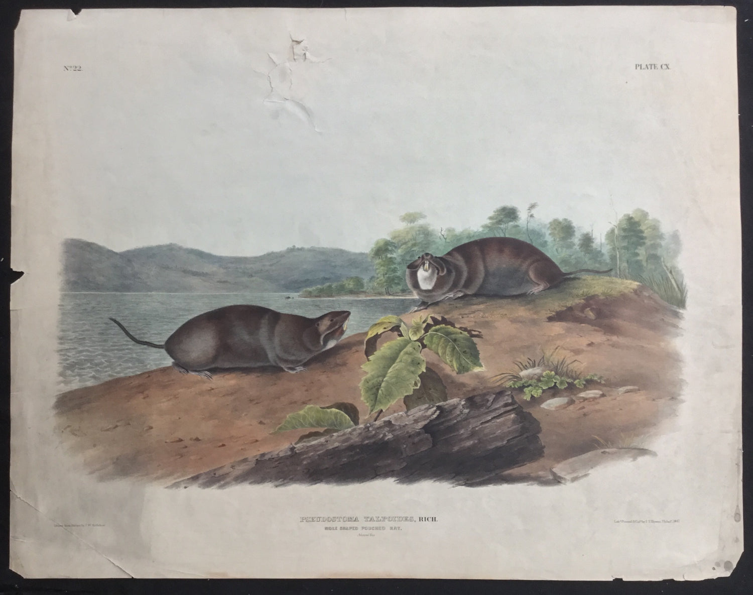 Lord-Hopkins Collection (Bowen pattern print), Audubon Original Imperial plate 110, Mole Shaped Pouched Rat