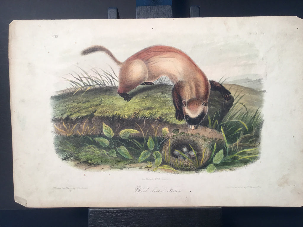 Lord-Hopkins Collection - Black Footed Ferret