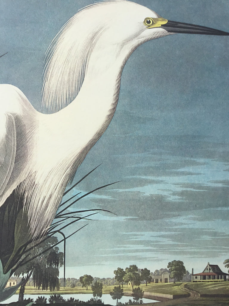 Snowy Egret, plate 242, Princeton Audubon Double Elephant Edition. 26 1/4 x 39 1/4 inches. Charleston S.C. plantation in background. Cameo of Audubon approaching from bottom right.