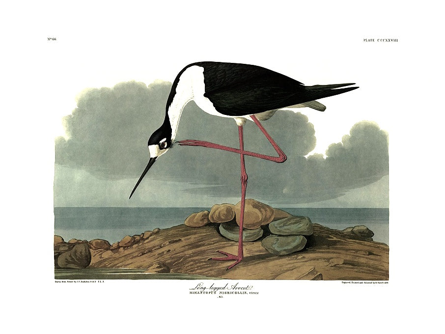 Special offer: Trimmed Long-legged Avocet