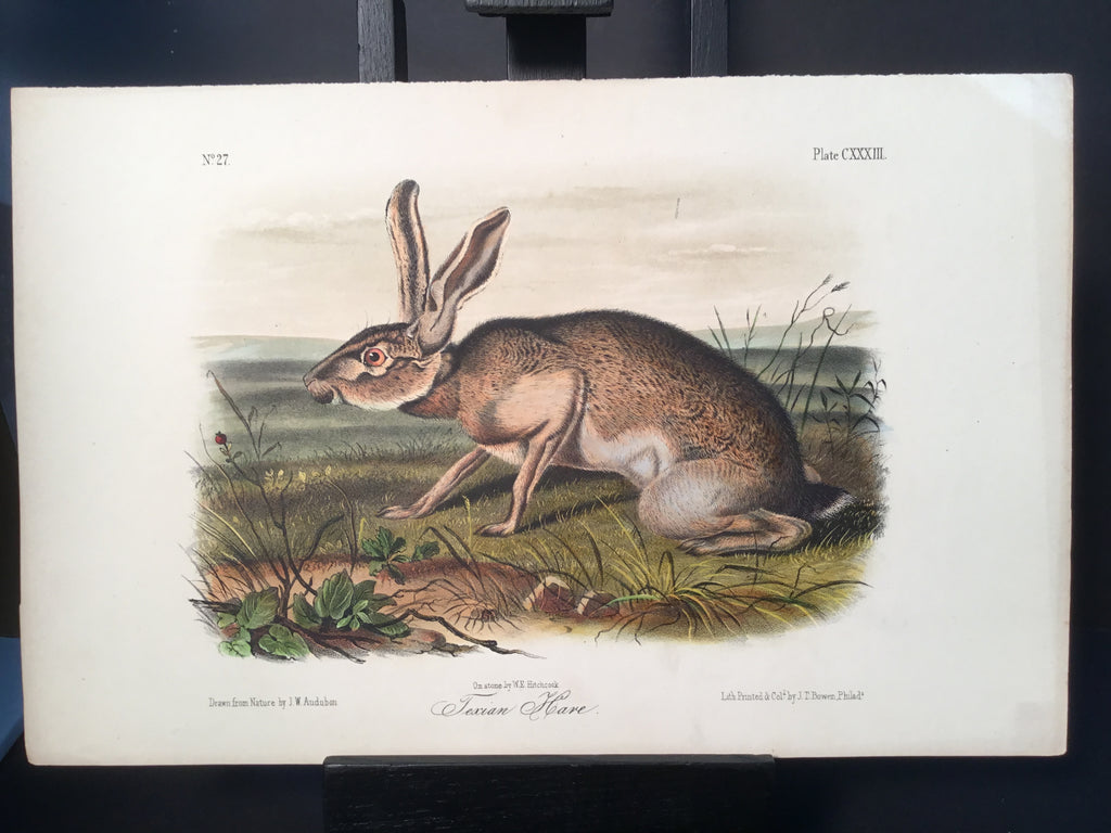 Lord-Hopkins Collection - Texan Hare