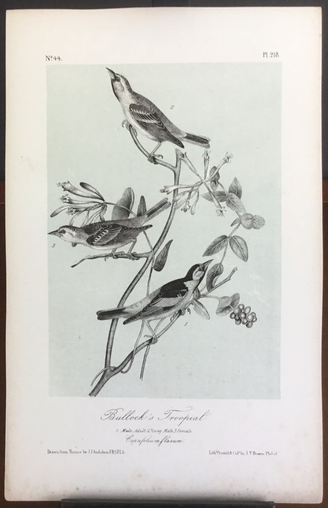 Audubon Octavo Bullock's Troopial, plate 218, uncolored test sheet, 7 x 11