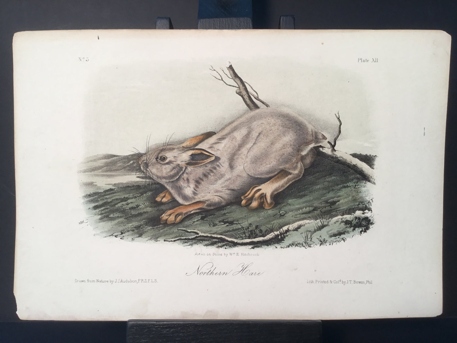 Lord-Hopkins Collection - Northern Hare