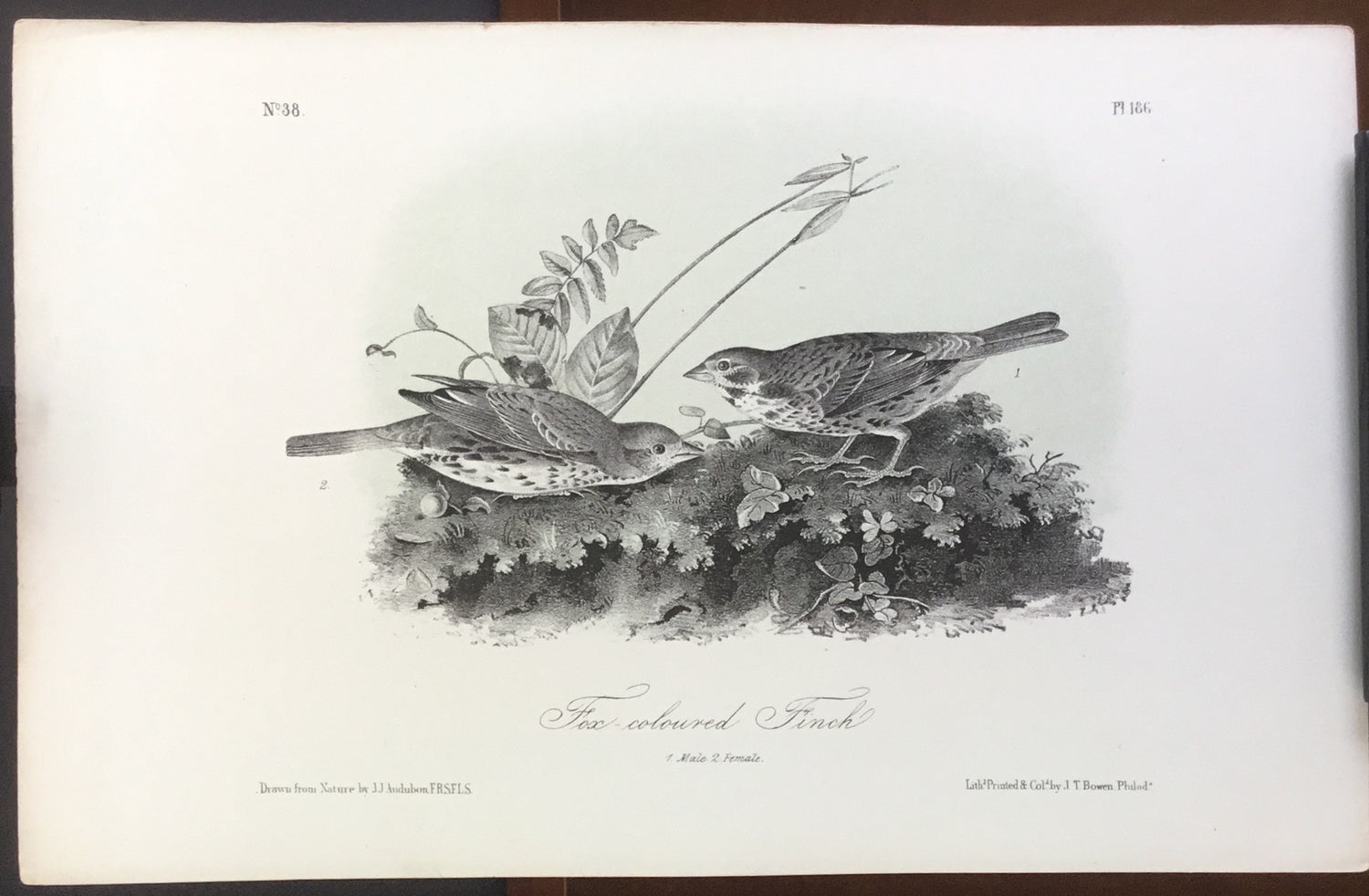 Audubon Octavo Fox-colored Finch (2), plate 186, uncolored test sheet, 7 x 11
