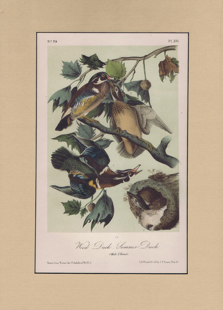 Audubon Original Octavo Matted, Wood Duck, plate 391