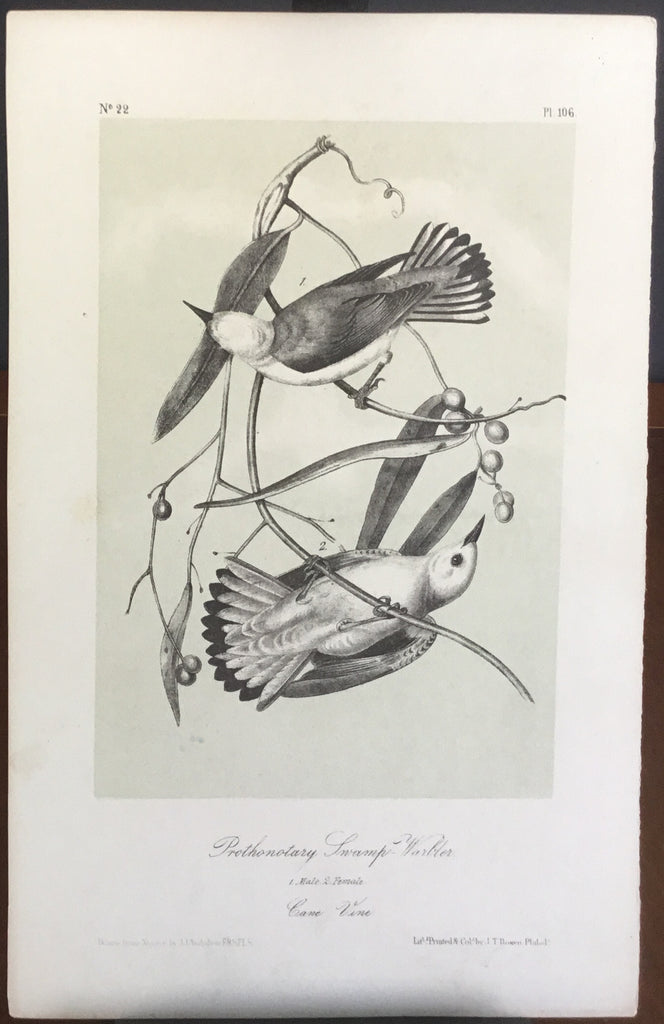 Audubon Octavo Prothonotary Swamp Warbler, plate 106, uncolored test sheet, darker tint, 7 x 11