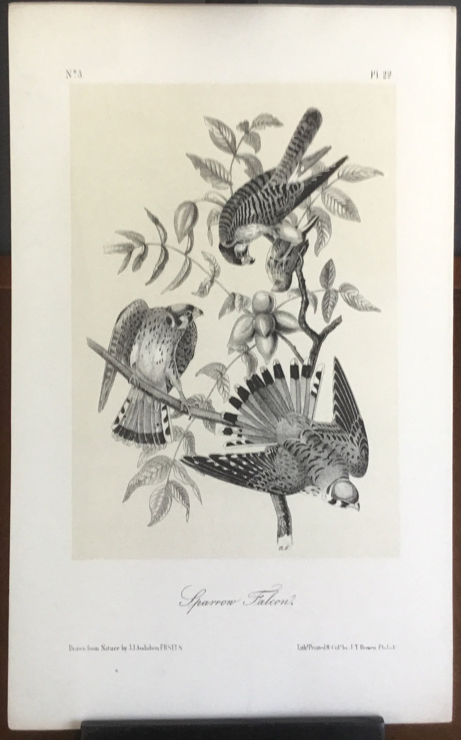 Audubon Octavo Sparrow Falcon, plate 22, uncolored test sheet. 7 x 11