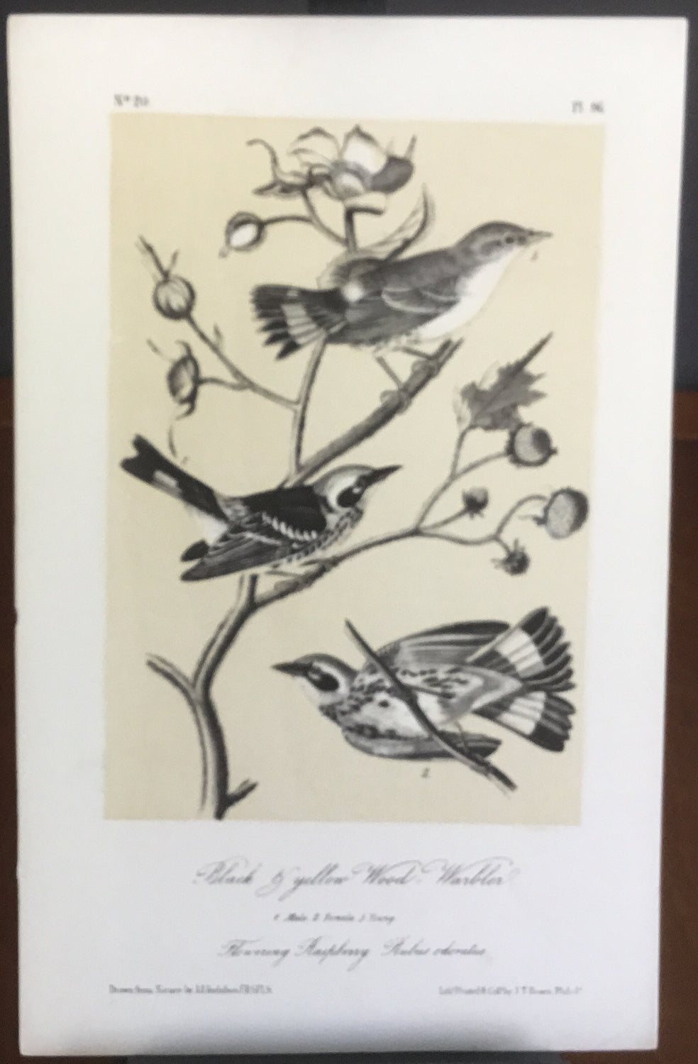 Audubon Octavo Black and Yellow Wood Warbler, plate 96, uncolored test sheet, 7 x 11