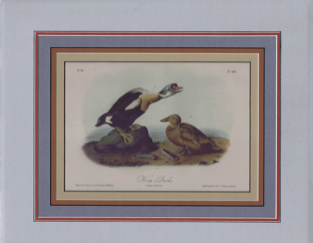 Audubon Original Octavo Matted, King Duck, plate 404