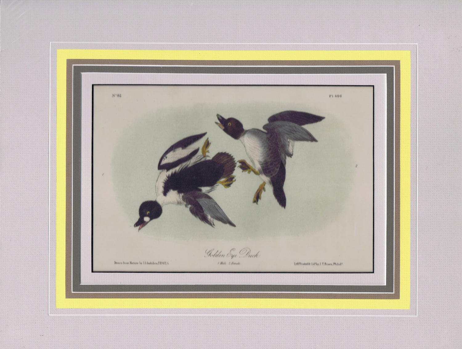 Audubon Original Octavo Matted, Golden Eye Duck, plate 406