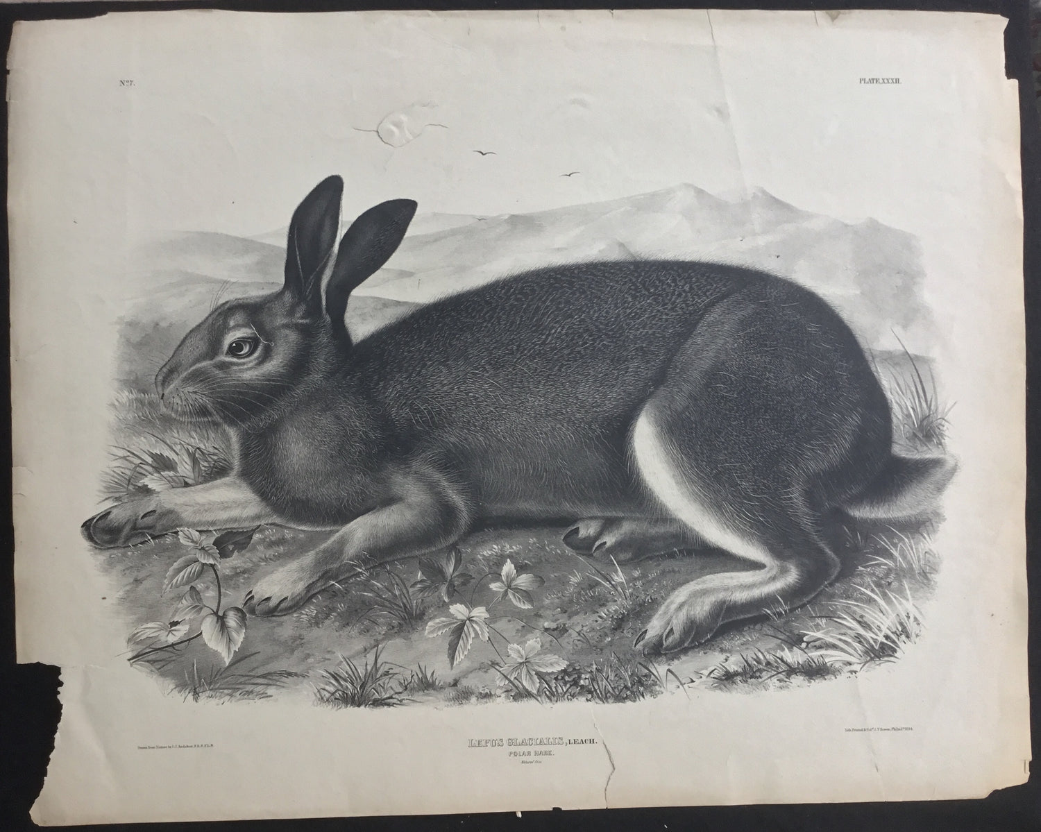 Lord-Hopkins Collection, Audubon Original Imperial plate 302, Polar Hare
