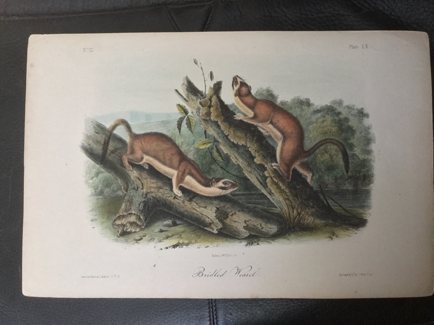 Lord-Hopkins Collection - Bridled Weasel, shop notes on back