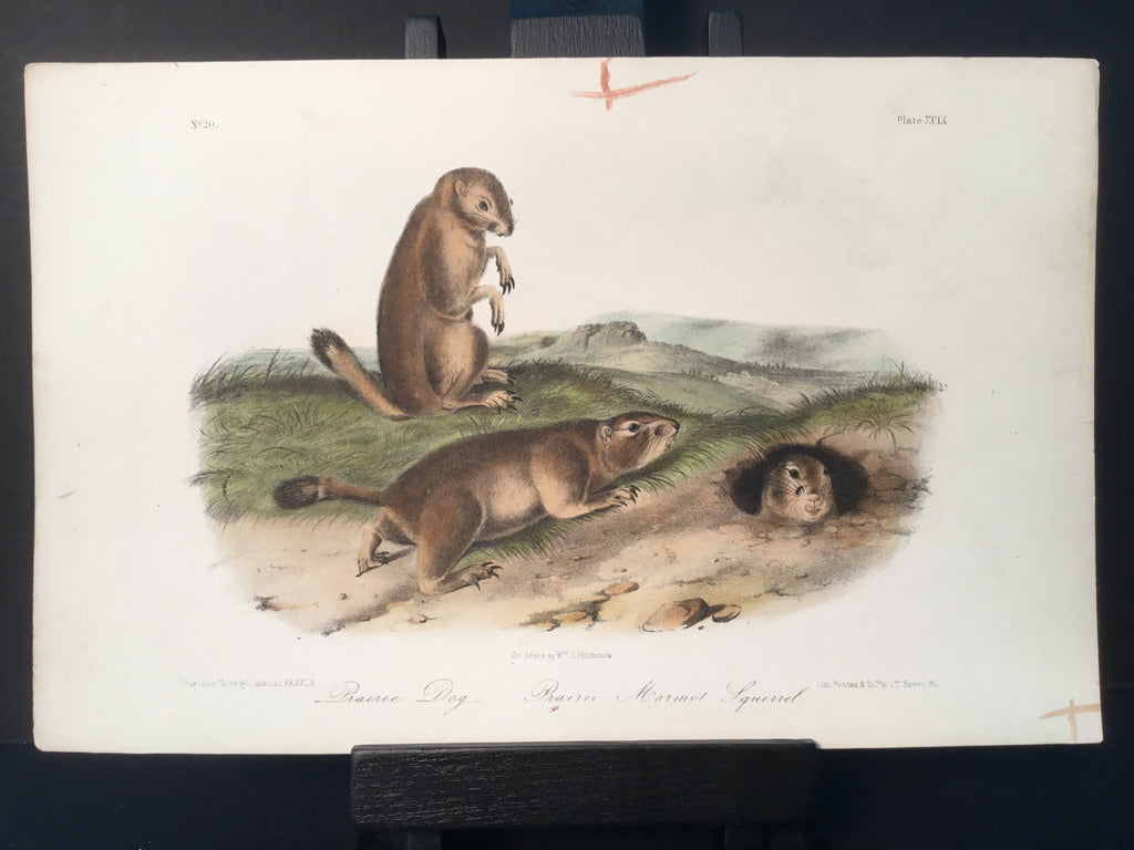 Lord-Hopkins Collection - Prairie Dog, Marmot Squirrel