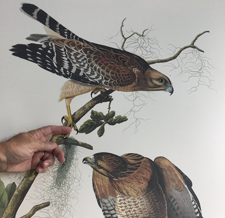 Red-shouldered Hawk Audubon Print. Princeton Audubon. The world's only direct camera edition of this image.