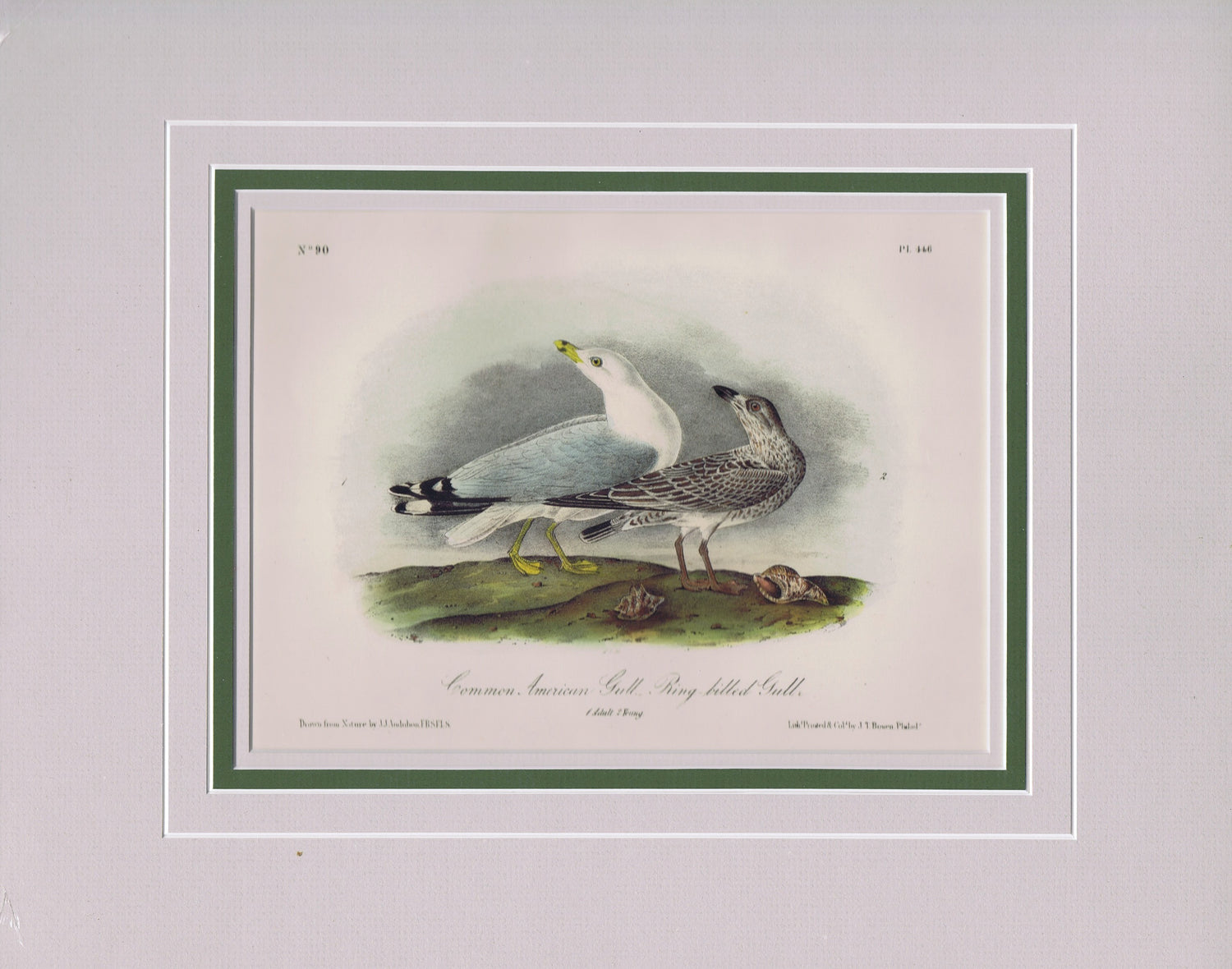 Audubon Original Octavo Matted, Common American Gull, plate 446