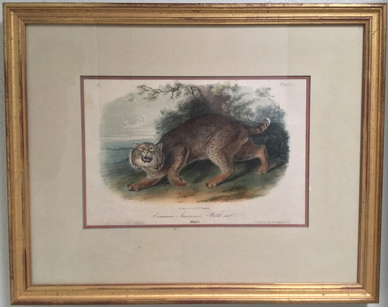 Original Audubon Octavo Common American Wildcat, Plate 1 (Framed)