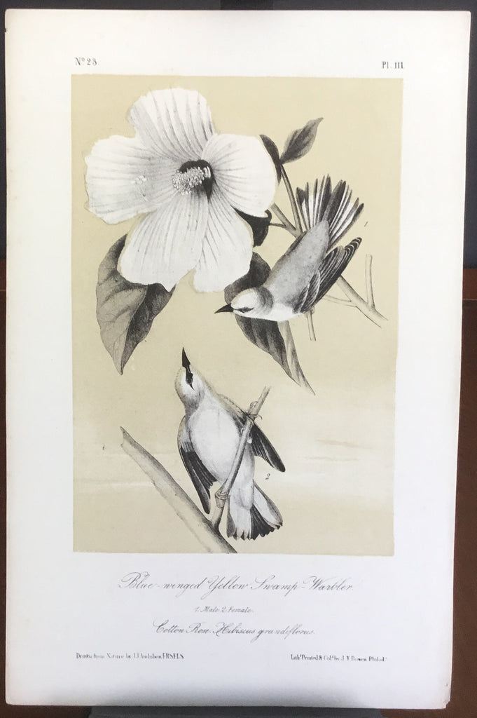 Audubon Octavo Blue-winged Yellow Swamp Warbler (3), plate 111, uncolored test sheet, 7 x 11