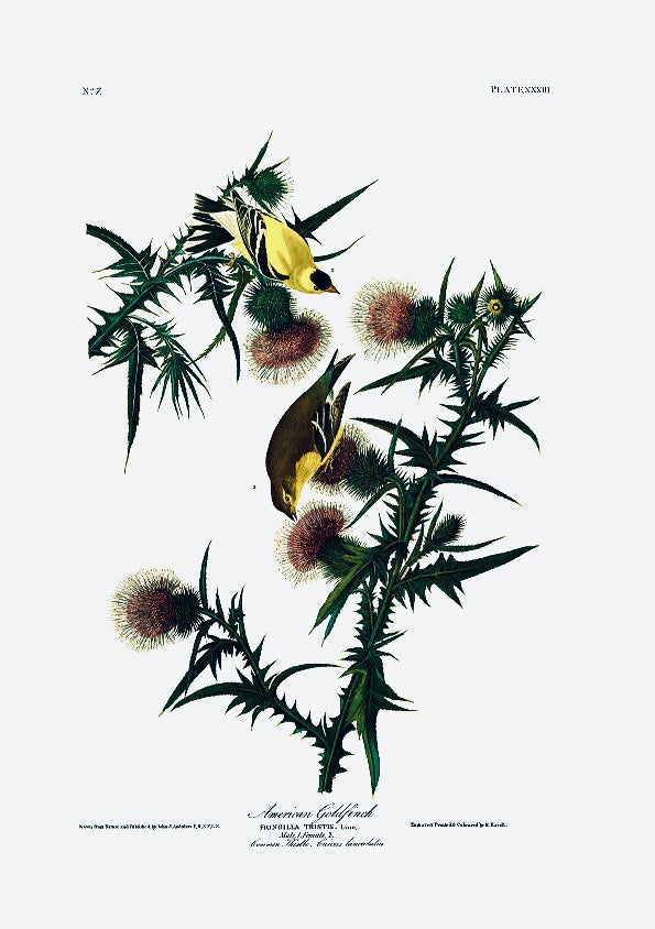 Special offer: Trimmed American Goldfinch