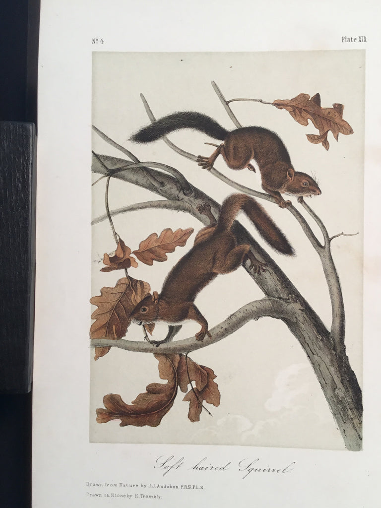 Lord-Hopkins Collection - Soft-haired Squirrel
