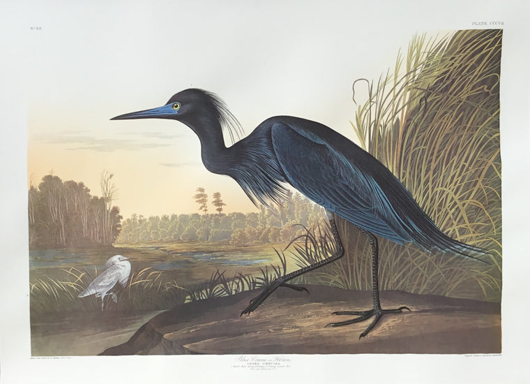 Audubon Blue Crane, plate 307 (trimmed to 23 x 30 1/2 inches as shown)