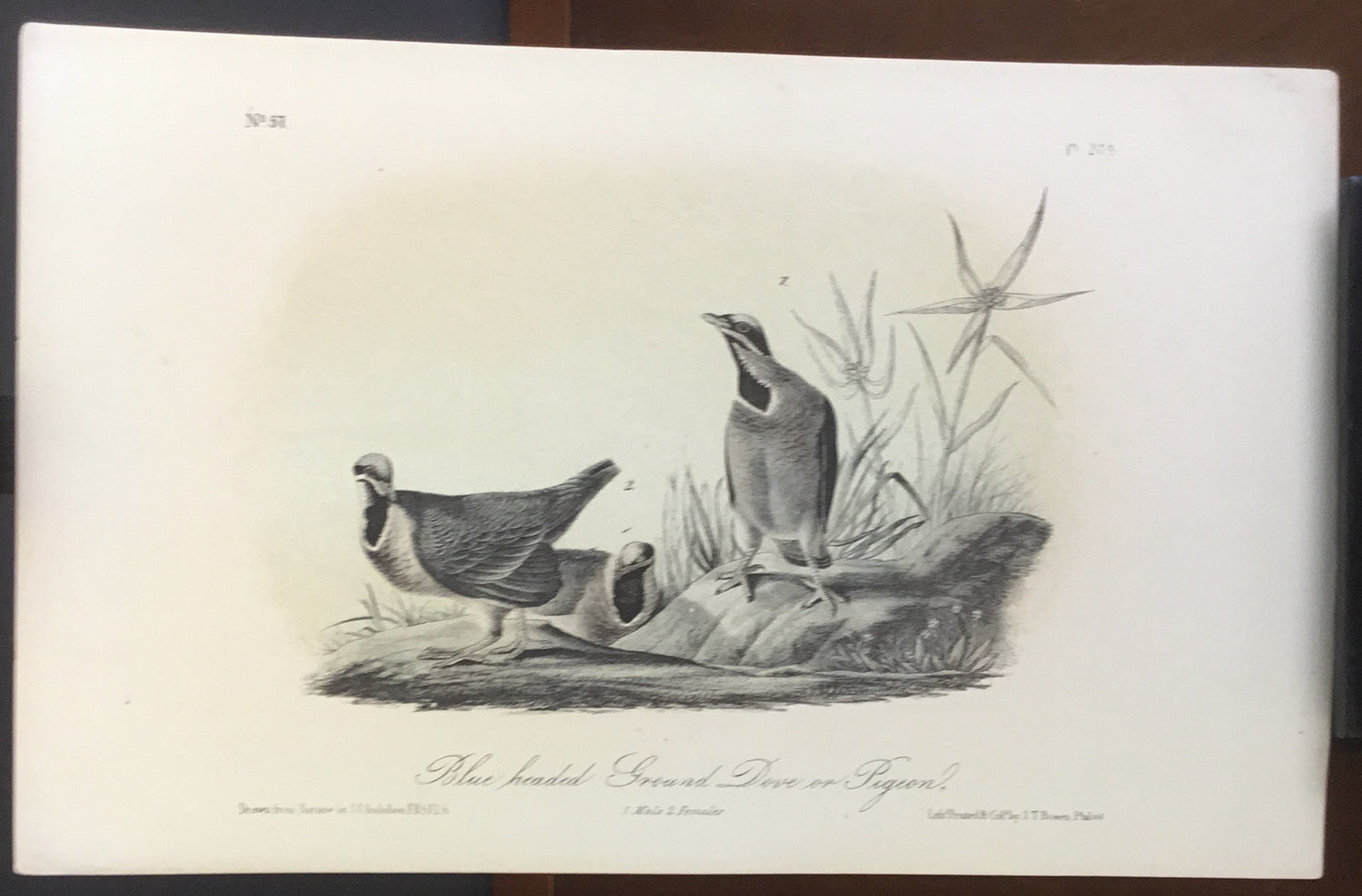 Audubon Octavo Blue-headed Ground Dove, plate 284, uncolored test sheet, 7 x 11