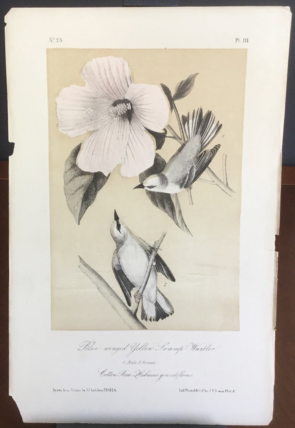 Audubon Octavo Blue-winged Yellow Swamp Warbler (2), plate 111, uncolored test sheet, 7 x 11