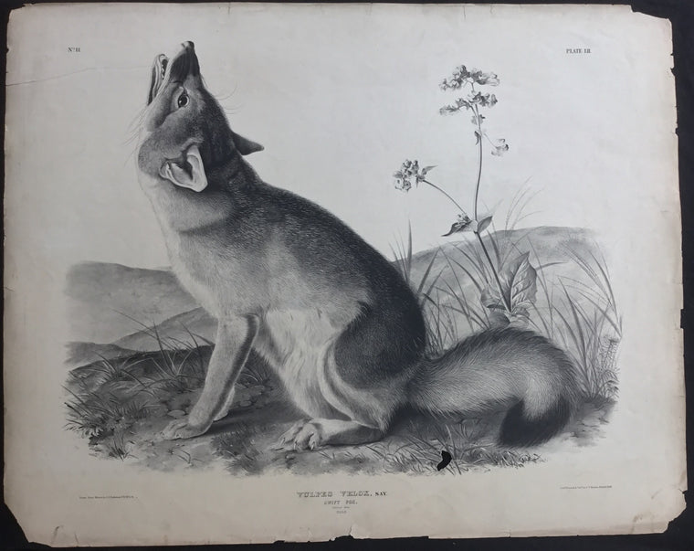 Lord-Hopkins Collection, Audubon Original Imperial plate 52, Swift Fox