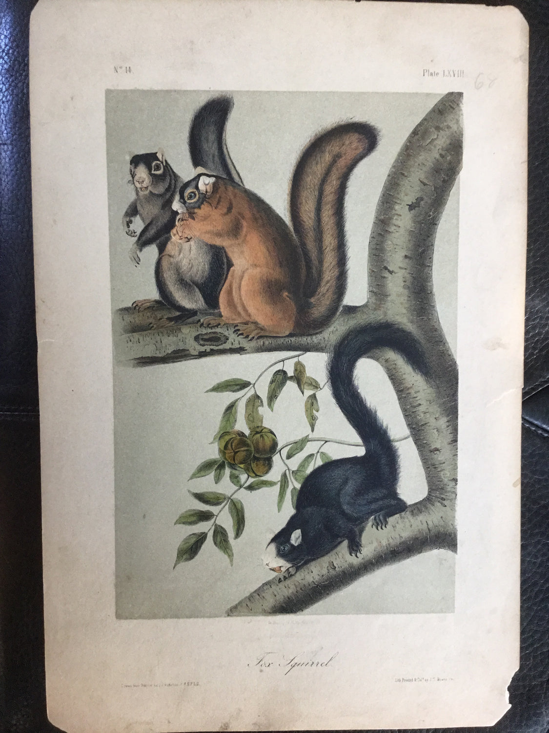 Lord-Hopkins Collection - Fox Squirrel, Shop note on back