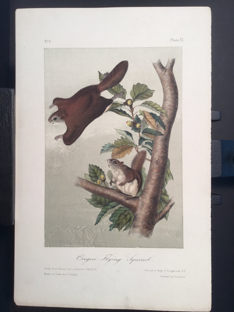 Lord-Hopkins Collection - Oregon Flying Squirrel