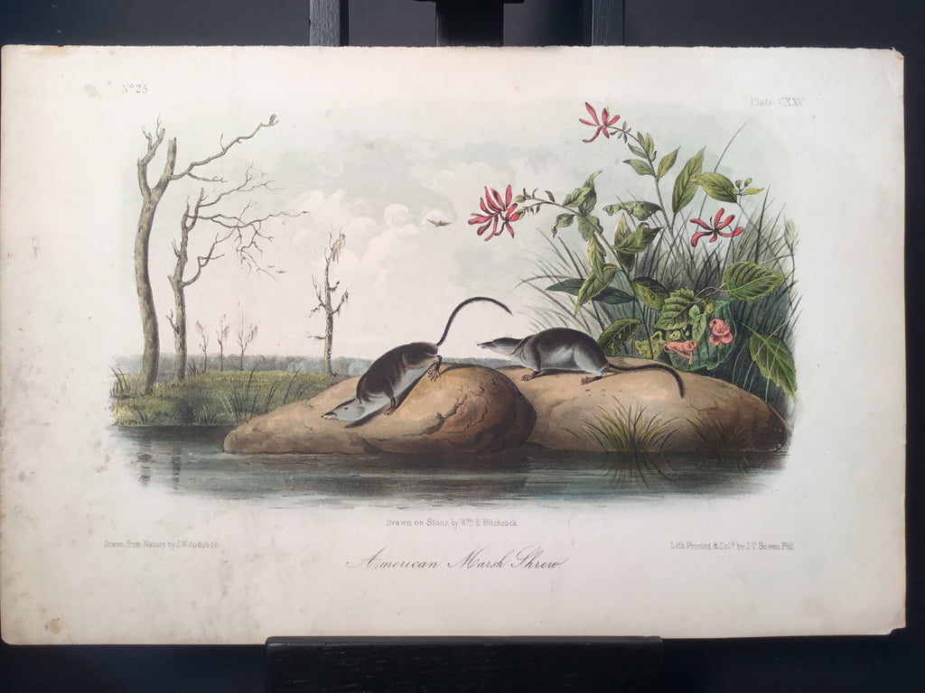 Lord-Hopkins Collection - American Marsh Shrew