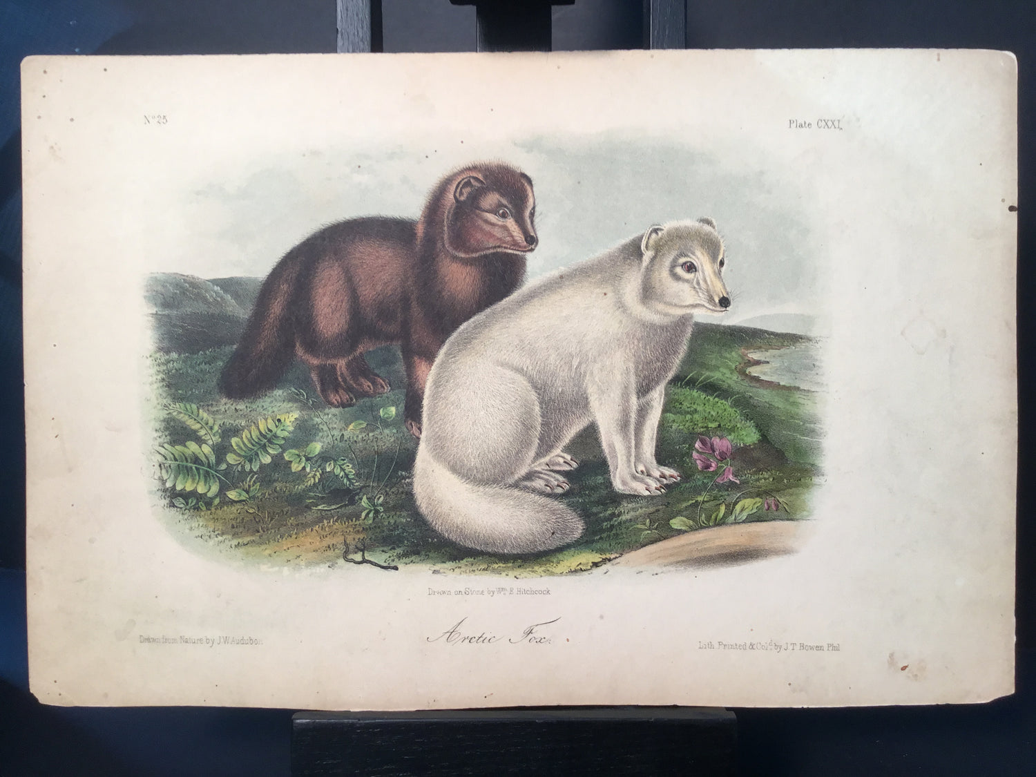 Lord-Hopkins Collection - Artic Fox
