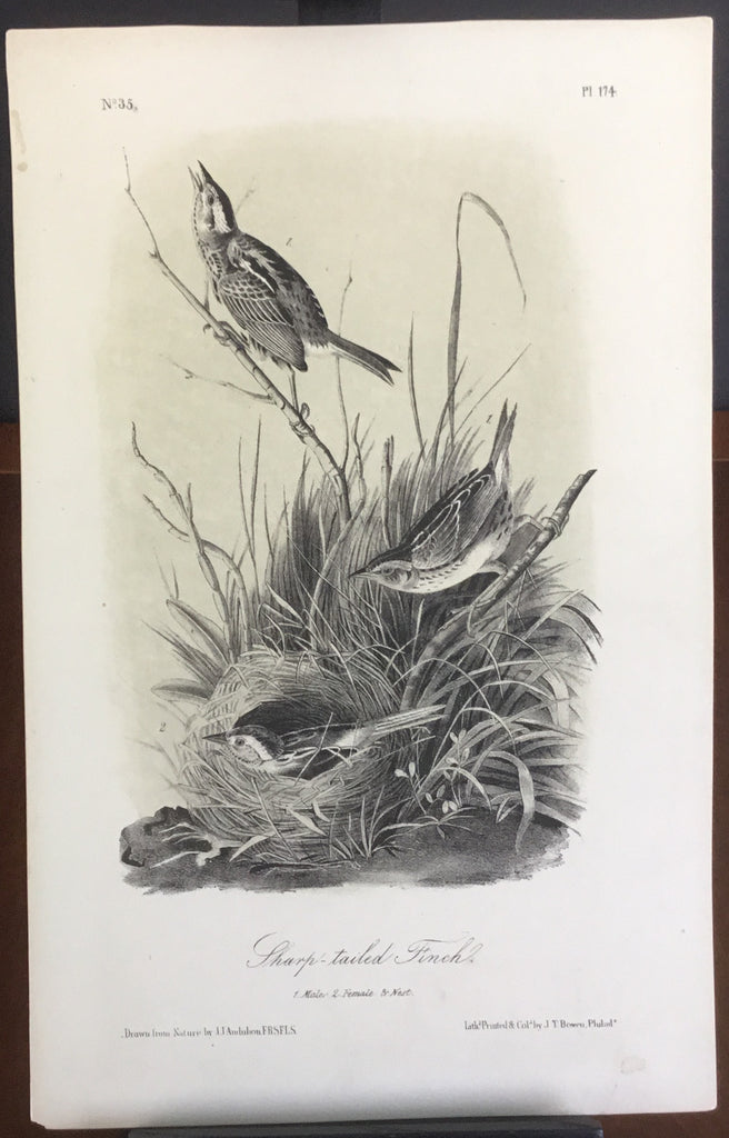 Audubon Octavo Sharp-tailed Finch, plate 174, uncolored test sheet, 7 x 11