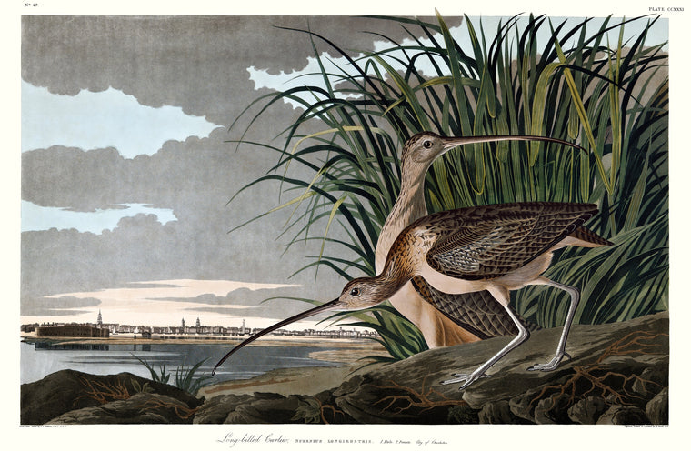Long-billed Curlew, Double Elephant plate 231.
