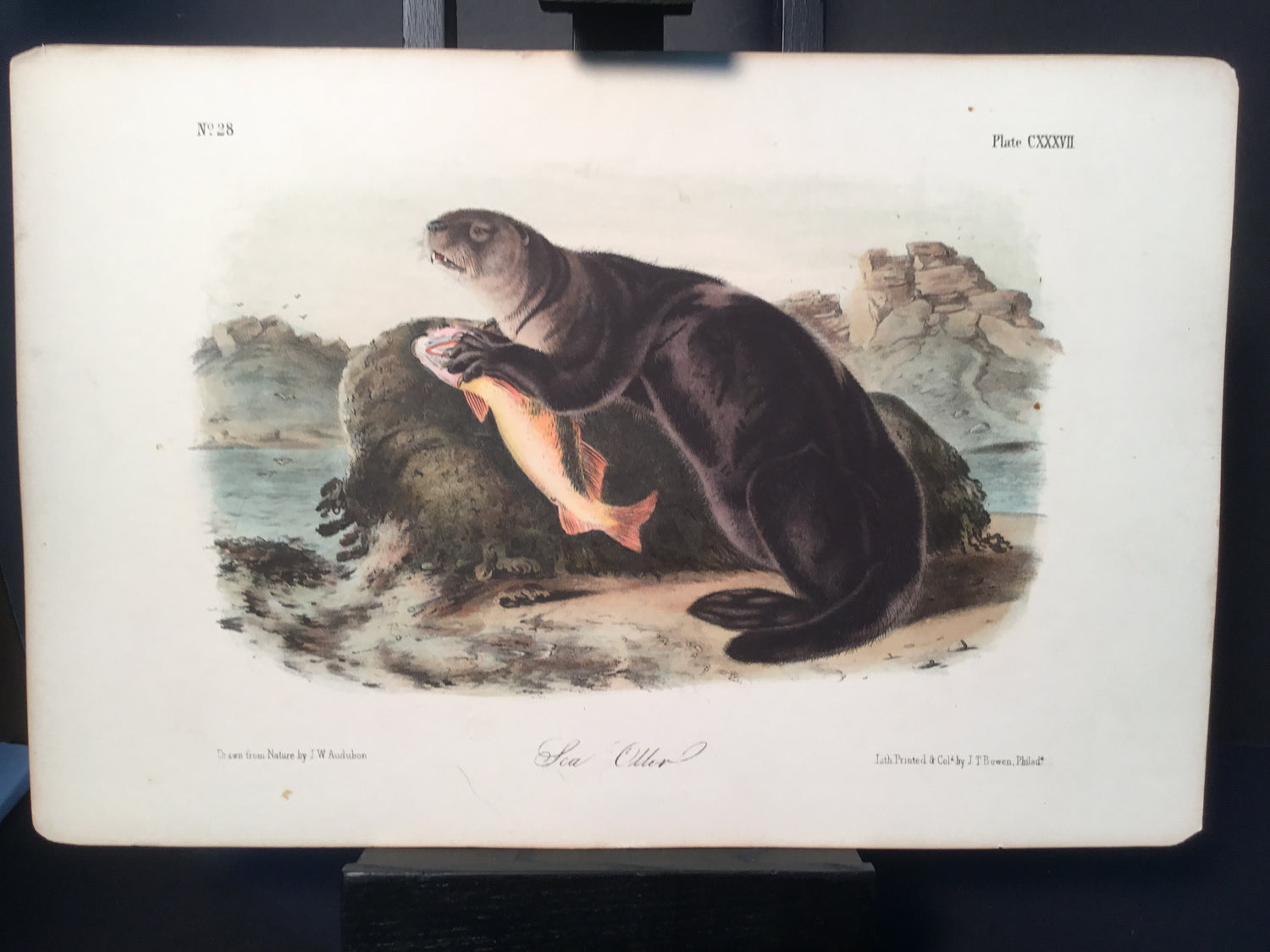 Lord-Hopkins Collection - Sea Otter