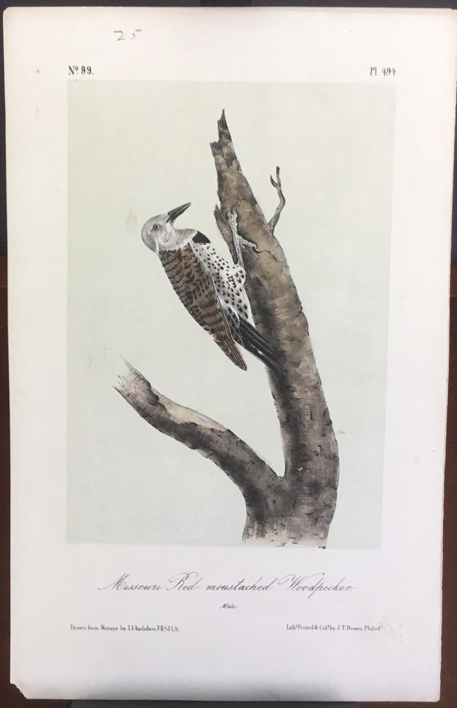 Audubon Octavo Missouri Red-moustached Woodpecker, plate 494, uncolored test sheet, 7 x 11
